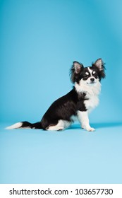 Cute Chihuahua black and white isolated on light blue background. Long hair. Studio portrait.