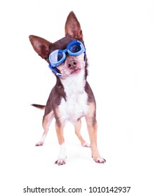 cute chihuahua with blue goggles on in a studio shot on an isolated white background