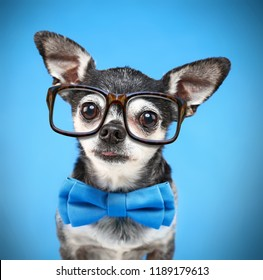 cute chihuahua with a bow tie and reading glasses on isolated on a blue background
