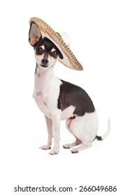 Cute Chihuahua breed dog sitting up tall on a white background while wearing a big Mexican sombrero hat