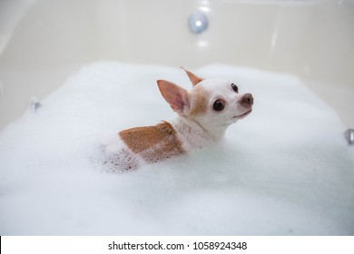 cute chihuahua bubbles bath