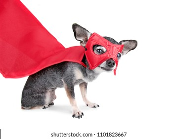 cute chihuahua with a cape and super hero mask on