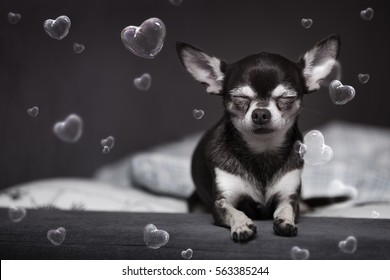 cute chihuahua with closed eyes and hearts bubbles