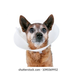 cute chihuahua with a collar cone on