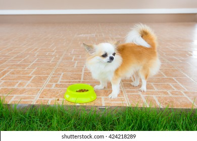cute chihuahua dog do not like to eat food in home