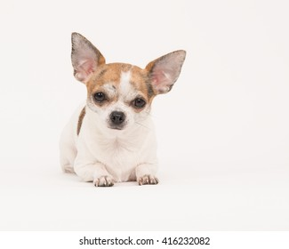 Cute chihuahua dog lying down head up facing the camera in a off-white surrounding