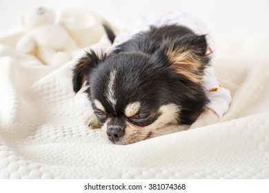 Cute chihuahua dog lying on bed with white background.