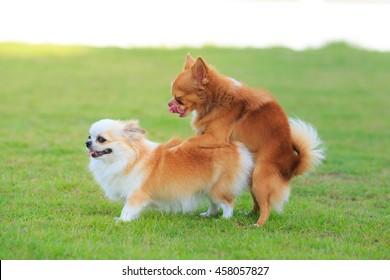 Cute chihuahua dog making love, and sex