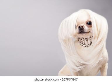 cute chihuahua dog posing before camera