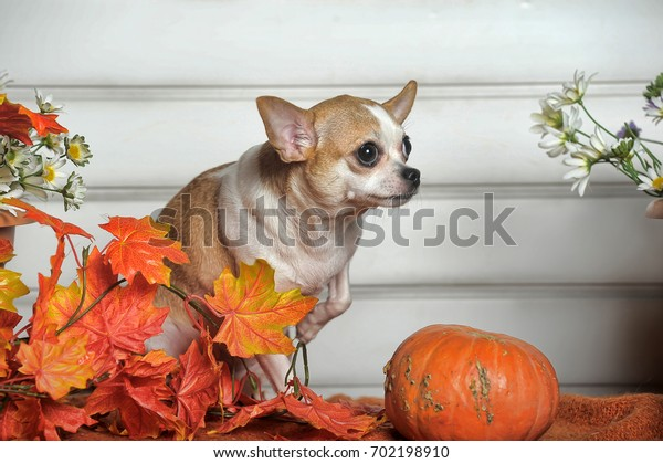 cute chihuahua dog with pumpkins white background