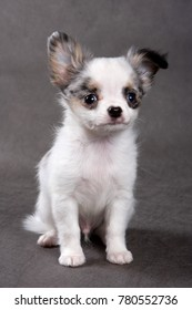 Cute Chihuahua dog puppy on a gray background