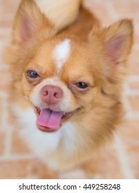 Cute chihuahua dog smile at home