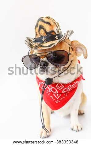 2ac016184a574 Cute chihuahua dog wearing cowboy hats were red scarf with a white  background.