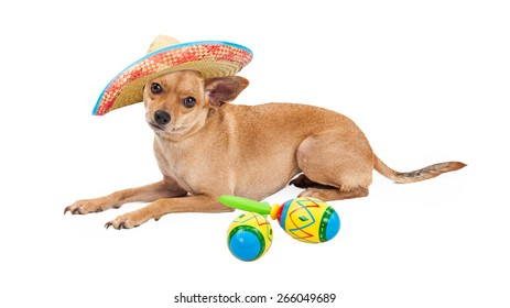 Cute Chihuahua dog wearing Mexican Sombrero laying on a white background next to a pair of colorful maracas