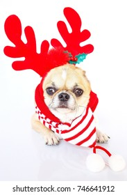 Cute Chihuahua dog wearing Reindeer hat  for christmas on white background.