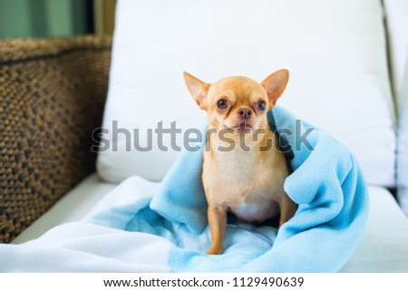 Cute Chihuahua Doggy Sittiing Sofa Small Stock Photo Edit Now