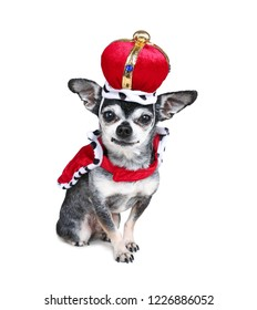cute chihuahua dressed in a costume studio shot isolated on white