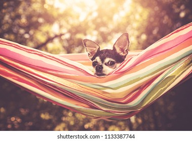 cute chihuahua in enjoying a hammock on a hot summer day toned with a retro vintage instagram filter