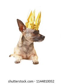cute chihuahua with a golden crown isolated on a white background