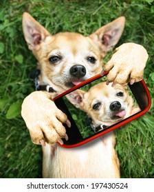 a cute chihuahua in the grass taking a selfie on a cell phone camera