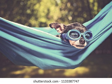 cute chihuahua in a hammock outside in the sun on a hot summer day toned with a retro vintage instagram filter