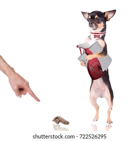 Cute chihuahua have a spray bottle and WC paper between legs for clean poo
