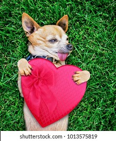 cute chihuahua with his tongue handing out and his paws holding a heart shape candy box in the air on green grass