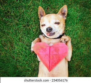 a cute chihuahua holding an origami paper heart (focus in on the paw and heart) shallow DOF