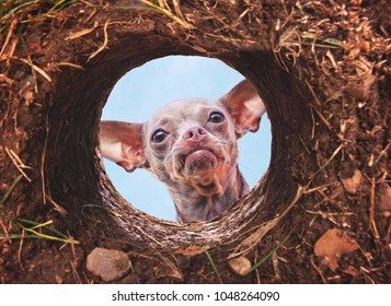 cute chihuahua looking into a hole in dirt making a frown face face with blue sky above