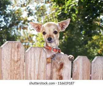 a cute chihuahua looking over a fence