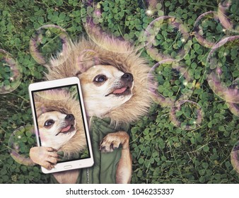 cute chihuahua lying in green grass with clover wearing a fur like jacket hoodie looking at soap bubbles taking a selfie toned with a retro vintage instagram filter app or action effect