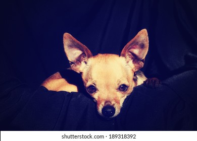 Teacup Chihuahua Images Stock Photos Amp Vectors Shutterstock