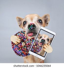 cute chihuahua on a gray background holding a donut with sprinkles and taking a selfie
