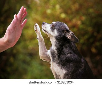 a cute chihuahua outside during summer time giving a high five