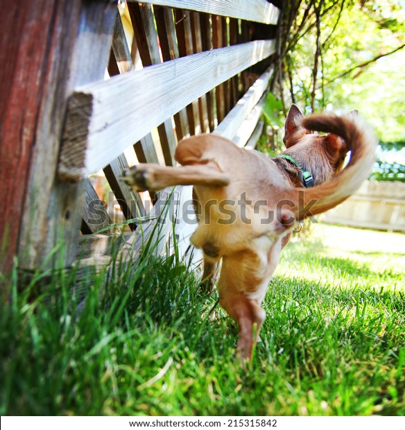 a cute chihuahua peeing on a gazebo lattice outdoors on a summer day
