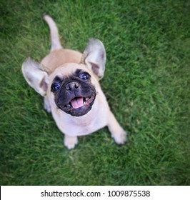 cute chihuahua pug mix puppy playing outside in fresh green grass