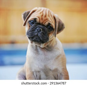 a cute chihuahua pug mix puppy (chug) looking at the camera with a head tilt in front of a fenced in pool in a backyard during summer