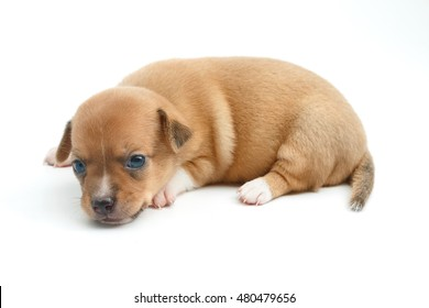 cute chihuahua puppies lying on white background