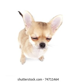 cute chihuahua puppy with closed eyes on white background