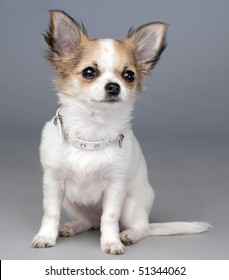 cute chihuahua puppy with a collar with crystals sitting on  gray