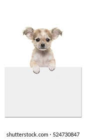 Cute chihuahua puppy dog holding an off white paper board with room for text on a white background