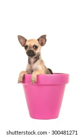 Cute chihuahua puppy dog in a pink flower pot isolated at a white background