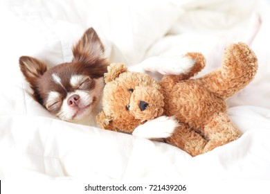 Cute chihuahua puppy sleeping with teddy bear on the white bed