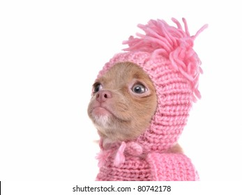 Cute chihuahua puppy wearing pink hat portrait, isolated on white background
