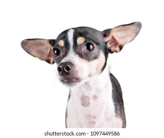 cute chihuahua rat terrier mix on an isolated white background