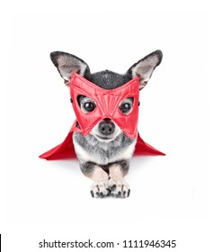 cute chihuahua with a red super hero mask on isolated on a white background