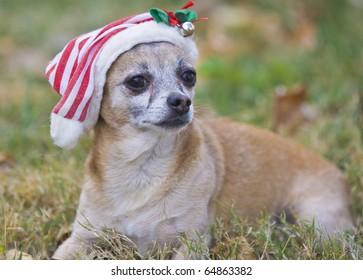 cute Chihuahua  with Santa hat