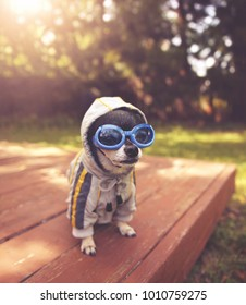 cute chihuahua sitting on a deck outside wearing goggles and a jacket on warm summer day toned with a retro vintage instagram filter