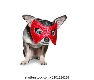 cute chihuahua with a super hero mask on