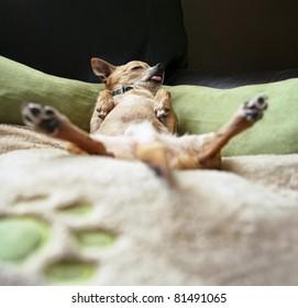 cute chihuahua taking a nap